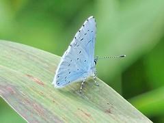 Holly Blue (Periparus) Tags: butterfly celastrinaargiolus hollyblue
