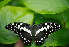 Citrus Swallowtail (Scorkky) Tags: butterfly place nature pretty green insect the indoor garden black spots citrus swallowtail