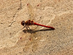 Male Vagrant Darter Dragonfly 3 (Kevin_Barrett_) Tags: dragonfly insect nature macro