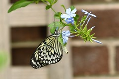 Paperkite butterfly (j shew) Tags: paperkite butterfly