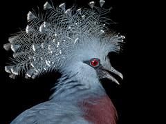 Fancy Feathers (helenehoffman) Tags: owensaviary aves conservationstatuscriticallyendangered bird sandiegozoo nest victoriacrownedpigeon newguinea gouravictoria animal