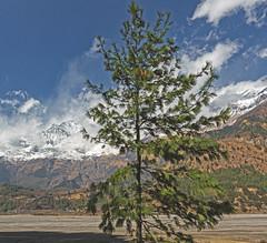 Facing The Wind (Ali Sabbagh) Tags: tree pinetree wind mountain nature himalayas nepal travel hiking trekking annapurna