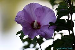 My Rose of Sharon No 1...Glamour Shot (Walt Snyder) Tags: canoneos5dmkiii canonef100400mmf4556l roseofsharon flower tree shrub bush lavender