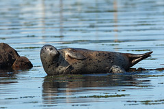 20190801 Oak Bay Seals