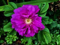 celebrating Life (77ahavah77) Tags: flower flowers bloom blossom maine
