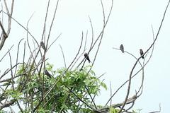 1.20012 Hirondelle du Rwenzori / Psalidoprocne holomelas ruwenzori / Black Sawwing (Laval Roy) Tags: uganda afrique africa hirondelledurwenzori psalidoprocneholomelasruwenzori blacksawwing hirondinidés passeriformes aves oiseaux birds lavalroy