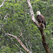 A male bald eagle wathing for fish