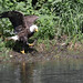 Female bak eagle waiting for the fish in her talons to die