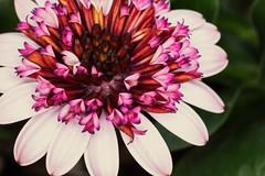 African Daisy (SteveMcD) Tags: exposurex3 africandaisy flower gx85 lumixgx8 alienskin macro westhartford connecticut unitedstates