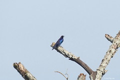 1.26491 Choucador à oreillons bleus / Lamprotornis chalybaeus scyobius / Greater Blue-eared Glossy-Starling (Laval Roy) Tags: afrique africa uganda aves birds oiseaux lavalroy choucadoràoreillonsbleus lamprotornischalybaeusscyobius passeriformes sturnidés greaterblueearedglossystarling