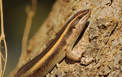 African Striped Skink Basking in the morning sun (Lachlan.Mulhearn) Tags: trachylepis striata african striped skink basking lizard kruger national park tshokwane south africa east reptile safari