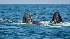 Humpback Whales (phoca2004) Tags: pelagic birds birding z6 nikon humpbackwhales megapteranovaeangliae farallonislands