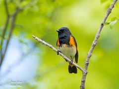 American Redstart (Jamie Lenh Photography) Tags: nature wildlife birds warblers americanredstart nikon tamron spring ontario canada