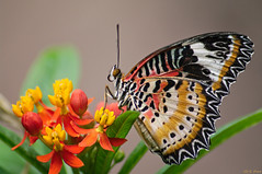 The Lacewing (Scorkky) Tags: the lacewing butterfly place insect pretty wing flower red yellow green