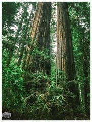 HUMBOLDT REDWOODS-AVE OF GIANTS-TWIN TOWERS-HDR-2019-3124W X 4132H-300PPI © Cody Jacobson-ZEN MOUNTAIN MEDIA all rights reserved (codyjacobson@zenmountainmedia.com) Tags: retouching redwoodstateparkhumboldtcacanon sequoiasempervirens hdr warmth giantscanopyhumboldt trees forestry forest green emerald redwoods wormseye evening sunset goldenhour travel tourism preservation forestsconservationpreservationparksrecreationenvironmentclimatechangephotographyhdrpicofthedayoregonnaturelandscapemobilelightroomspringpacificnorthwestquotesphilosophyhumanitythoughtoftheday