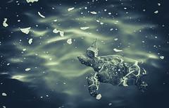 Below the surface (RWGrennan) Tags: green sea turtle kauai hawaii queens bath travel hi tortuga wild wildlife nature pacific ocean princeville water nikon d610 endangered animal outside outdoors blue texture rwgrennan rgrennan ryan grennan cyan calm under surface underwater light