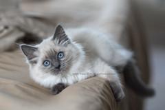 On the edge (dog ma) Tags: chloe ragdoll cat kitten kitty dogma nikon d750 nikkor 85mm jodytrappephotography cute adorable