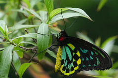 Ornithoptera priamus (Scorkky) Tags: the butterfly place insect green yellow red leaves leaf micro nature indoor garden pretty ornithoptera priamus