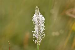 12164-5 (laba laba) Tags: rodborough commone rodboroughcommon stroud gloucestershire england nature flower meadow wildflower