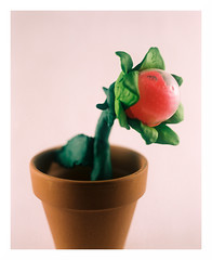 Gachaculture (jellygeist) Tags: mamiya rb67 rb67prosd 127mm kodak portra400 kodakportra400 film mediumformat 120film analog flowers gardening horticulture