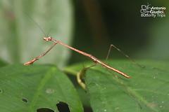 Stick Mantis (Antonio Giudici Butterfly Trips) Tags: thailand yongwaterfall nakhonsithammarat mantis stickmantis