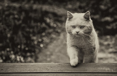 International Cat Day 2019 – August 8 (AnyMotion) Tags: pet cats white nature animals tiere stranger visitor katzen besucher eisbär anymotion 2013 internationalcatday blackandwhite bw sepia garden terrace terrasse sw garten whitecat kater canoneos5dmarkii 5d2 internationalerkatzentag weltkatzentag