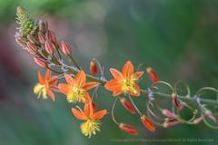 Bulbine (Final Image), 8.5.19 (pattyoboe) Tags: bulbine flora flowers wgwalk