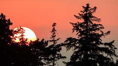 Sunset in Skanör, Skåne (bholmbom81) Tags: trees sunset nature pine forest skåne twilight fir skanör bjornholmbom björnholmbom
