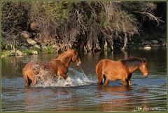 Water Games 3509 (maguire33@verizon.net) Tags: saltriver herd horse wildhorse wildhorses