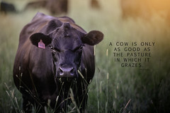 COW proverb (Wild.Woods.Photography) Tags: animal animalportrait portrait quote proverb farming beef cattle cow cows beefcow teamcanon canonusa canon70200f28lll canon5dmarkiii