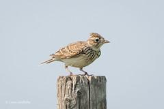 Skylark 501_9229.jpg (Mobile Lynn) Tags: skylark birds nature alaudaarvensis bird fauna wildlife faringdon england unitedkingdom