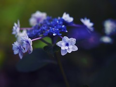 What A Wonderful World (Kito K (fxkito2)) Tags: blue japan tokyo macro flower omd bokeh nature closeup lumix fineart olympus color dof