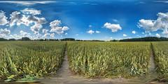 PANO_20190807_114325C1JPM (Vadim_PP2013 (>640000 views)) Tags: summer field wheat sky clouds panorama 360