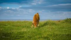 A little calf (Oddiseis) Tags: asturias spain grass cow colors green blue calf tamron247028 life animal