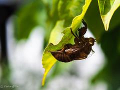 2019 Summer #1 (Yorkey&Rin) Tags: 2019 august cicadashell dogwood em5markii inmygarden olympus olympusm60mmf28macro p8030004 rin summer 花水木 蝉の抜け殻 庭 八月 夏