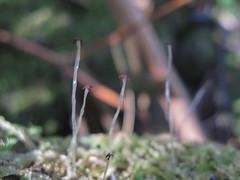Liverworts with capsules, opened (imbala) Tags: wilsonscreeknsw liverwort capsules