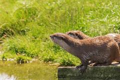 Loutre (Emeline P) Tags: sonyalpha77 tamron sigma wild wildlife wildanimal pairi daiza belgique loutre oiseau bird rapace ours jardin asie otarie hindou duck elephant pandaroux redpanda méduse