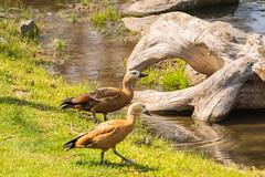 Duck (Emeline P) Tags: sonyalpha77 tamron sigma wild wildlife wildanimal pairi daiza belgique loutre oiseau bird rapace ours jardin asie otarie hindou duck elephant pandaroux redpanda méduse
