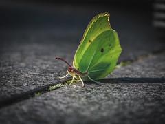Citroenvlinder (Antoon's Foobar) Tags: tuin natuur achtertuin vlinder citroenvlinder