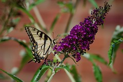 Tiger Swallowtail posing! (ineedathis, Everyday I get up, it's a great day!) Tags: butterfly eastertigerswallowtail pappilloglaucus insect lepidoptera butterflybush buddleiadavidii flower purple zoom garden summer nature nikond750 chimney bricks
