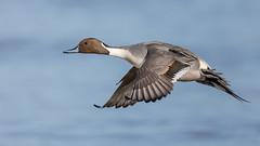 Northern Pintail (Glenn.B) Tags: gloucestershire slimbridge wwt wildlife wildfowl wildfowlandwetlandstrust duck animal nature pintail northernpintail