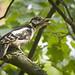 Woodpecker calls