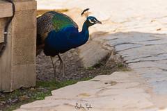 Paon (Emeline P) Tags: sonyalpha77 tamron sigma wild wildlife wildanimal pairi daiza belgique loutre oiseau bird rapace ours jardin asie otarie hindou duck elephant pandaroux redpanda méduse