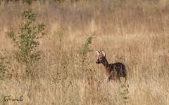 Chevreuil européen, Brocard (Capreolus capreolus)- BFIM1857 (6franc6) Tags: occitanie languedoc gard 30 août 2019 6franc6 vélo kalkoff vae