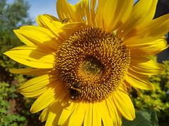 Sunflower (Stitchinscience) Tags: sunflower joyous yellow summer bees pollen collecting