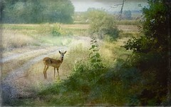 Rencontre matinale. (*Jost49* (±Off)) Tags: paysdelaloire campagne contryside chevreuil roe deer texture