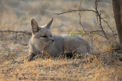 Bengal Fox - Vulpes bengalensis (Jono Dashper Wildlife) Tags: bengal fox vulpes bengalensis bengalfox vulpesbengalensis mammal wild wildlife nature animal canon 500mm 1dx 2019 jonodashper jonathondashper naturephotography wildlifephotohraphy indianfox littlerannofkutch zainabad gujarat india desertcoursers