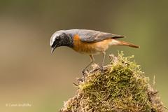 Redstart - Male 501_9671.jpg (Mobile Lynn) Tags: nature birds flycatchersredstarts redstart bird fauna phoenicurusphoenicurus wildlife godalming england unitedkingdom coth specanimal coth5 ngc npc