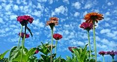 Zinnien in meinem Garten! - Zinnias in my garden! (fleckchen) Tags: zinnien zinnia korbblütler asteraceae blumen blüten flower blooms garten zierblumen zierpflanzen sommer wolken himmel clouds sky