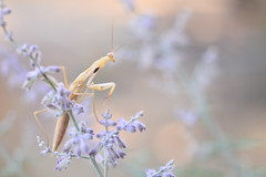 (Leela Channer) Tags: flowers purple nature mantis praying beige brown france summer insect animal dsc0316